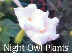 Texas night-blooming plants (imagine a night-time ghost garden of white plants - they also smell good)
