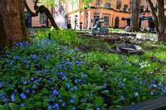 #vår marktäckare snabbväxande långlivad -- Omphalodes verna - Ormöga bland Centralbadets vårflora. Här finns även lungört, Scilla, vitsippor mm.