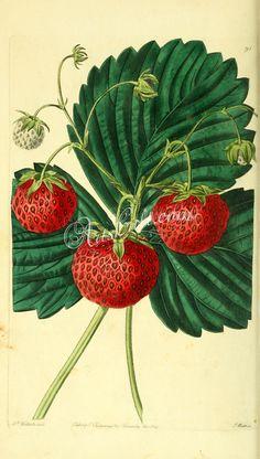 Keens' Seedling Strawberry      ...