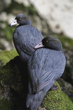 Blue Duck pair