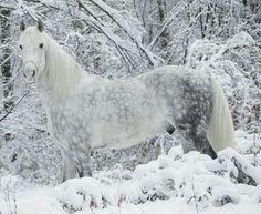 #cheval #gris #pommele