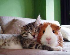kitten hugging guinea pig