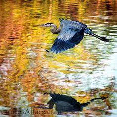 Blue Heron at Cedar Lake  #LikeThisPhotoBuyThisPhoto #InTimeForChristmas #NaturesAllure #MichelleWadePhoto #BeautyByNaturePhotoByMichelle #madeinKC  #artskc #KC #KCart #kcartists #igkansascity #kansascity #instakc #capture_kc  #instartist  #MidwestMoments #KSartist #naturephoto #flowers #garden #nature #flowerstagram #naturephotography #naturelovers #flower #nature_perfection #olatheParks #Kansasmag #TasteofKansas #kansasphotos