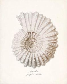 MORNING LIGHT: Illustrations shells