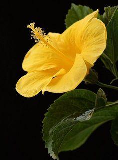 Hibiscus Yellow Yuki ما هذا الجمال ،، سبحان الخالق المصور !!