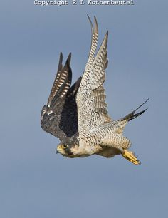 Adult peregrine falcon flying in attack mode toward a flock of dunlin -  Samish Flats, Washington State