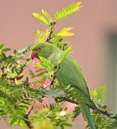 Indian Ring Necked Parakeet by pinaki baidya on 500px
