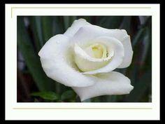 Urare De Inceput De An Scolar - YouTube Rose, Flowers, Youtube, Plants, Pink, Plant, Roses, Royal Icing Flowers, Flower
