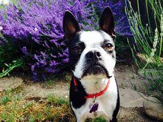 Beautiful Boston Terrier Dog Posing in Front of a Lavender Bush ► http://www.bterrier.com/?p=29240 - https://www.facebook.com/bterrierdogs
