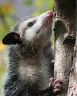 An opossum making her way up a tree. Opossums are excellent climbers and often have nests in trees.