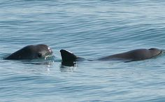 Mexico is Trying to Save the World's Rarest Porpoise From Disappearing