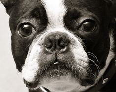 I can't stop pinning pics of Boston Terriers, they are SO cute!!