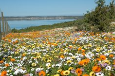 Flowers at Langebaan South Afrika, Beautiful Places, Beautiful Pictures, Field Of Dreams, Lush Garden, Beach Paintings, Oil Paintings, Nature Reserve, Holiday Destinations