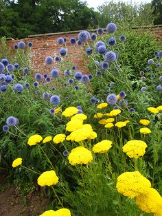 Buy Echinops & Achillea plant combination Echinops and Achillea 'plant combination': Delivery by Crocus