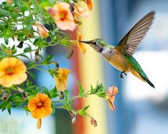 Colorado Hummingbird Photo by Pam Lander — National Geographic Your Shot