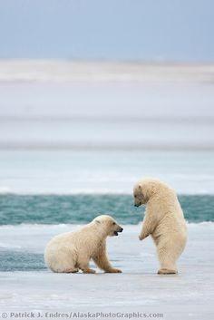 Polar bear cubs play on ice Young polar bear cubs of the year play along the open edge of water in the Beaufort Sea. Polar Bears Live, Save The Polar Bears, Baby Polar Bears, Arctic Animals, Baby Animals, Cute Animals, Polar Bear Drawing, Bear Photos, Bear Cubs
