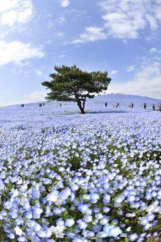 青い花の海に佇んで | 植物 > 花・花びらの写真 | GANREF