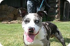Bryan, TX - Pit Bull Terrier/Catahoula Leopard Dog Mix. Meet NIBBLER, a dog for adoption. http://www.adoptapet.com/pet/15168355-bryan-texas-pit-bull-terrier-mix