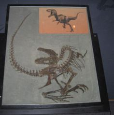 Fossil Exhibit of Albertosaurus