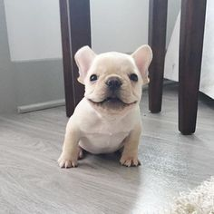 Tag your friends ❤️ Credit @thefrenchiefranklin Follow our pawner @babyanimalstagram