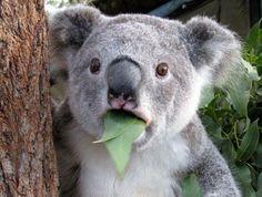 Koala Meme Good.