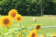 sunflowers and sheep - what could be more fun