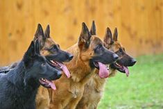 If you're in need of ideas for German Shepherd dog names, you'll find plenty of inspiration in this slideshow. Along with a number of traditional German names and their meanings, you'll also find some creative ideas for less common names. Black German Shepherd Dog, German Shepherd Puppies, German Shepherds, German Shepherd Facts, German Dogs, All Dogs, Best Dogs, Huge Dogs, Golden Retriever