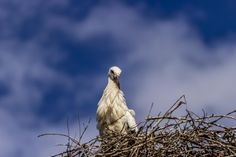 White stork - Ciconia ciconia by Cosmin Marinchescu on 500px