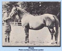 Risala  GSB #388  Color: Chestnut Sex: Mare Foaled: 1900  Sire: Mesaoud (Aziz x Yemameh)  Dam: Ridaa (Merzuk x Rose of Sharon)  Breeder: Crabbet Park Arabian Stud. Sussex, England.