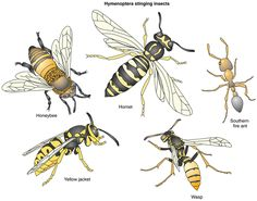is a wasp and yellow jacket the same - Google Search