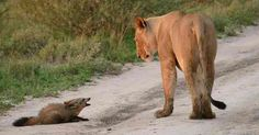 Lioness finds injured baby fox on the road – what she then does brings the photographer to tears