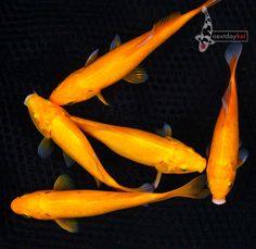 Common goldfish, Goldfish and America on Pinterest