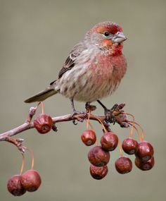 thesensualstarfish:    Red Finch on Crab Apple  by ~eaross