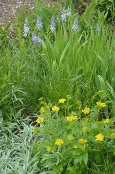 Prairie Moon Nursery :: Seeds :: Camassia scilloides (Wild Hyacinth)
