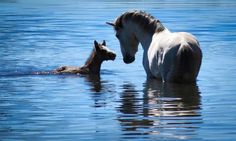 Salt River Wild Horses; Here---in a River or Stream, a Lovely Wild Mare and Her Adorable Chestnut Foal.