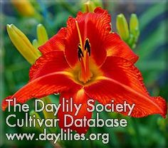 Daylily Fire Bird Suite