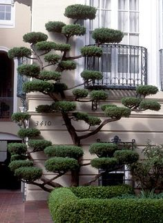 Some wonderful 'cloud pruning'. Cloud Pruning (Niwaki) is pruning limbs in such a way as to create space between them and flatten the top and bottom. It can be a solution for a small area. Topiary Garden, Garden Art, Garden Plants, Topiary Trees, Formal Gardens, Outdoor Gardens, Jardim Zen Interior, Trees And Shrubs, Trees To Plant