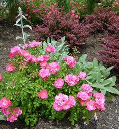 Bright Flower Carpet Pink combines nicely with the soft blue-green colors in lambs ears