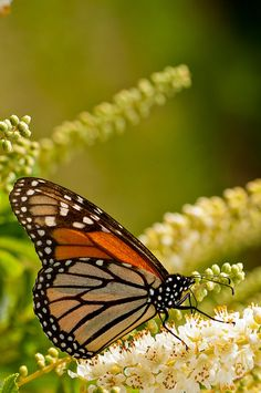 State Insect - Monarch butterfly by Ryan Engstrom