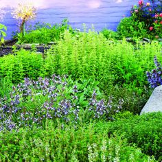 Mediterranean Herb Garden: Italian Oregano Thyme, English Thyme, Lemon Thyme, Garden Sage, Berggarten Sage, Conehead Thyme, Flat-leafed Parsley, Greek Oregano, English Lavender, French Tarragon, Rosemary, Sweet Marjoram