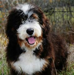 A bernedoodle. Must have one!!!