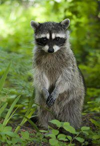 Living in Harmony With Raccoons | Living in Harmony With Wildlife ...