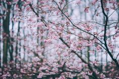 Cherry Blossom forest Art Print by gameoftones Spring Branch, May Days, Forest Art, Blossom Flower, Flower Tree, Flower Wallpaper, Spring Wallpaper, Easy Healthy Dinners, Free Stock Photos
