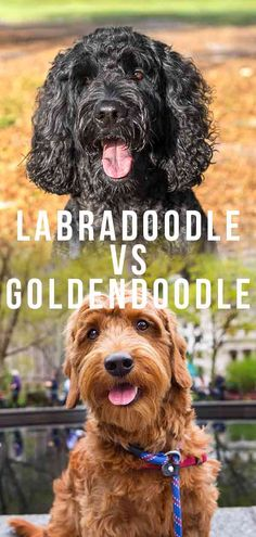 Labradoodle vs Goldendoodle - How To Tell Them Apart Goldendoodle Vs Labradoodle, Australian Labradoodle Puppies, Labradoodles, Puppy Facts, Labrador Mix, Dogs For Sale, Therapy Dogs, Labradors, Family Dogs