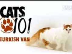 Cats Turkish Van I have decided that my next cat is going to be a Turkish Van Long Hair Cat Breeds, Funny Cats, Funny Animals, Turkish Van Cats, Cats 101, Interesting Animals, Healthy Pets, Domestic Cat, Warrior Cats