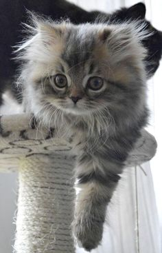Cute Kittens Doing Funny Things Cute Cats And Kittens Cute Kittens, Cutest Kittens Ever, Kittens And Puppies, Pretty Cats, Beautiful Cats, Animals Beautiful, Beautiful Things, Majestic Animals, Beautiful Pictures