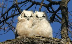 Great Horned Owlets.