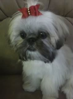 shih tzu puppies for sale in charleston sc 1000 images about puppy breeders on pinterest shih tzu 7422