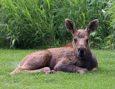 Baby moose in Anchorage #Alaska