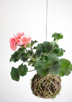 Transform ordinary houseplants into adorable self-contained arrangements called Kokedama. These versatile arrangements can be suspended, displayed in a dish, or used in terrariums!